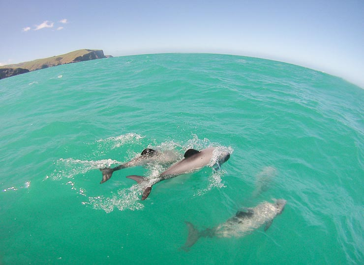 neuseeland hector delfine