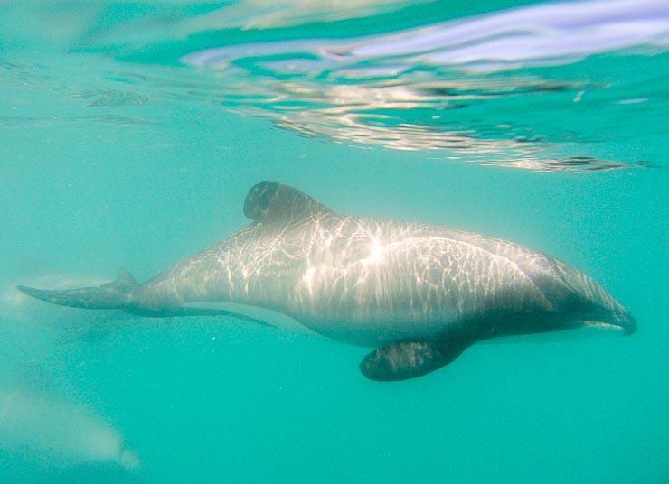 neuseeland akaroa hector delfine