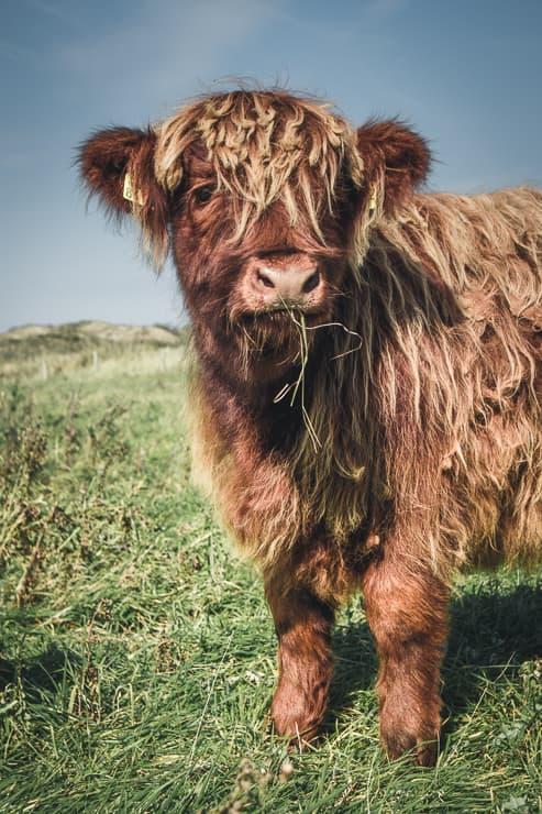 Ostfriesland Schottische Kühe